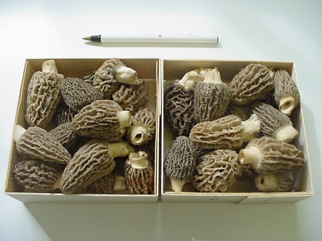 Blonde morels/ photo from Forest Mushrooms Inc.