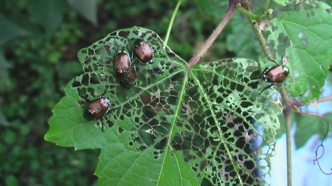 Japanese beetles (photo/Cindy Hadish)